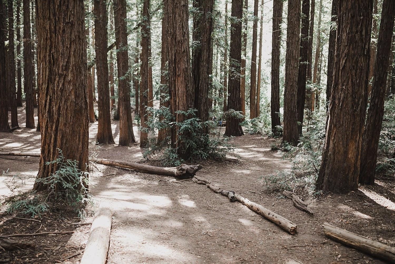 Redwoods in Joaquin Miller Park.
